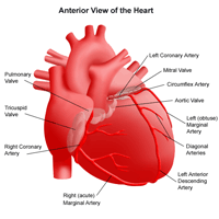 Anatomy of the heart, anterior view