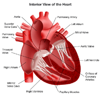 Anatomy of the heart, interior view