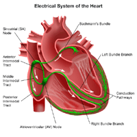 Illustration of the electrical system of the heart