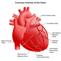 Illustration of the coronary arteries of the heart