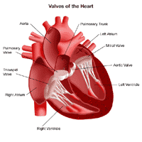 Illustration of the anatomy of the heart, view of the valves