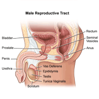 Illustration of the anatomy of the male reproductive tract