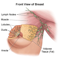 llustration of the anatomy of the female breast, front view