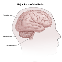 Illustration of lateral view of brain and divisions into cerebrum, cerebellum and brainstem