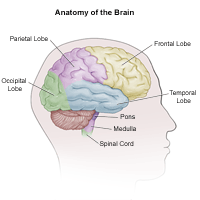 Illustration of the anatomy of the brain, adult