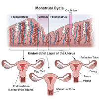Illustration demonstrating the menstrual cycle