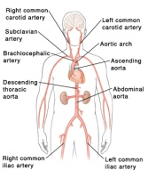 Location of the aortas and arteries in the human body.